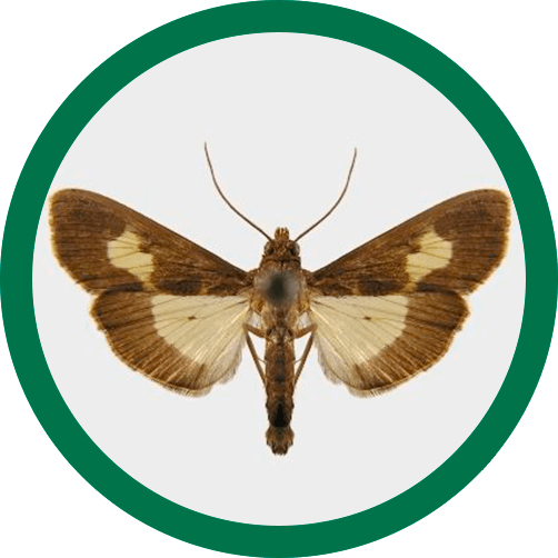 diaphania nitidalis